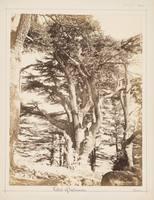 Cedar of Lebanon, Palestine